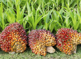Palmöl – Zahlen, Daten und Fakten